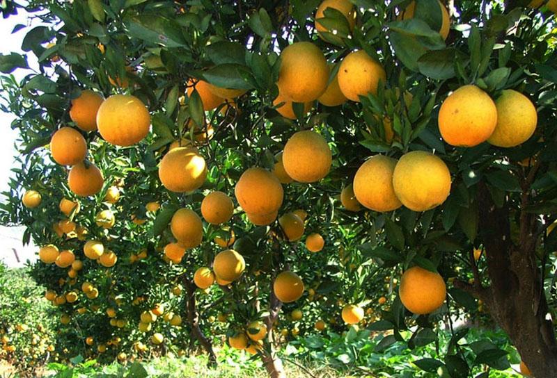 Zhangjiajie Mandarin Orange