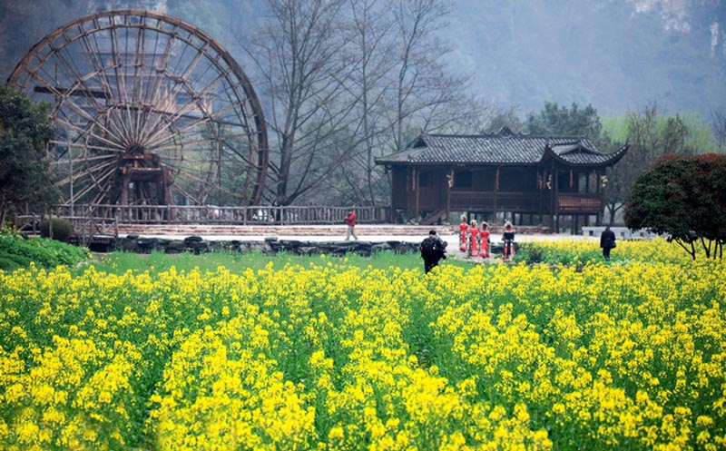 Best times to view Canola flowers in Zhangjiajie